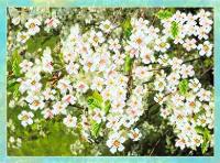 Рисунок на шелке МАТРЕНИН ПОСАД арт.37х49 - 4092 Цветущая вишня